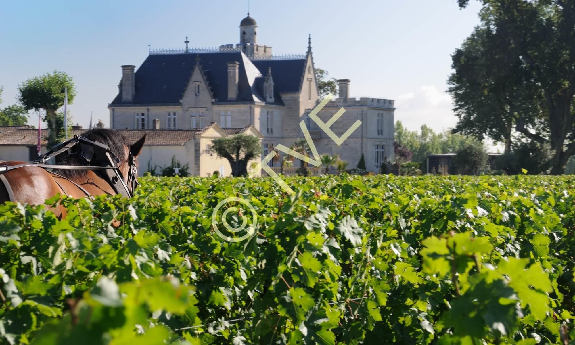 chateau pape clement, quinoa dans les vignes