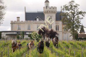 Retour de la traction animale au château Pape Clement