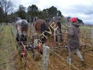 les trois chevaux de lionel maerten, de front dans les vignes du chateau Smith Haut Lafitte