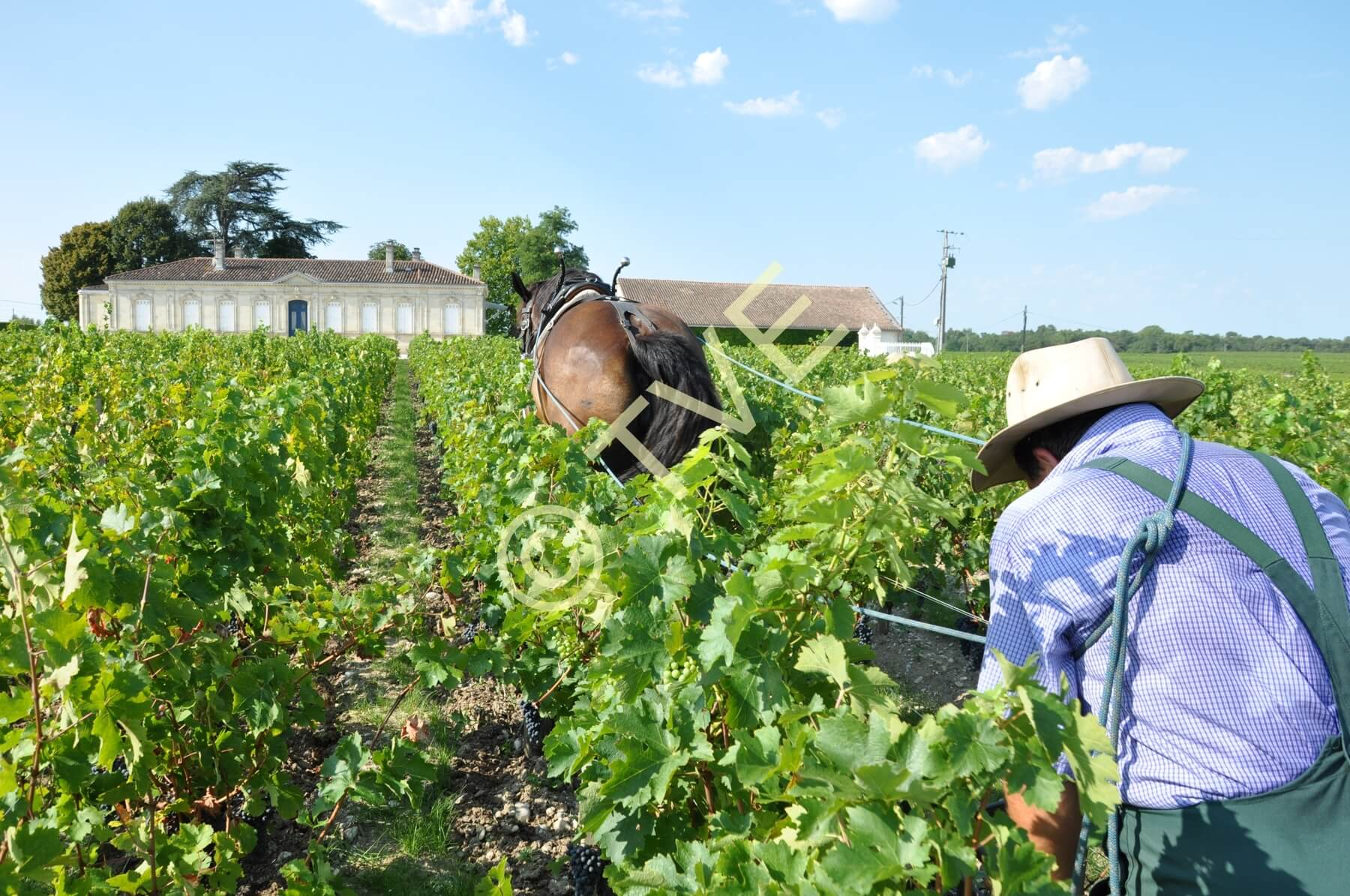 Eric Seuve et Java, prestataire dans les vignes du château Pibran