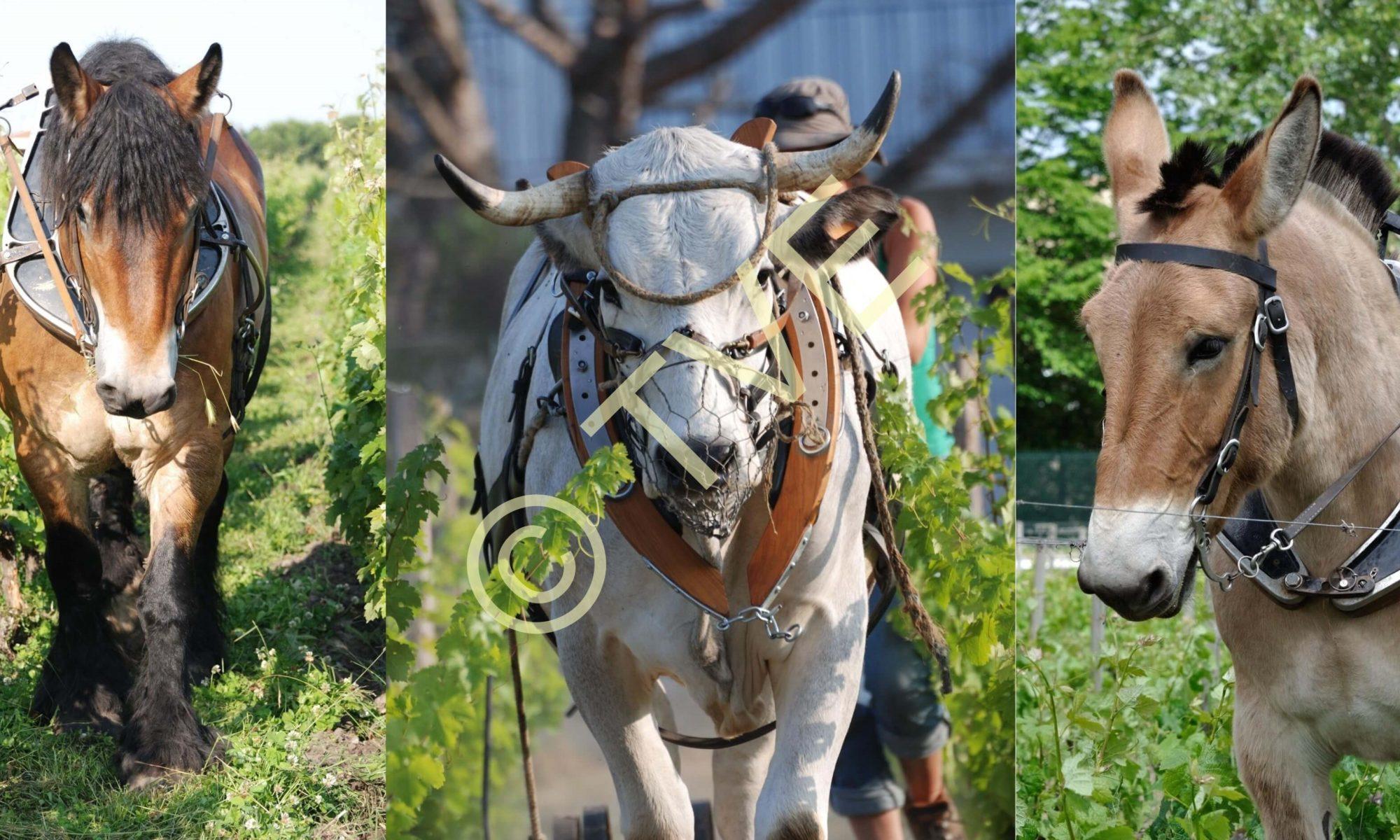Cheval Mule Boeuf les moteurs de la traction animale